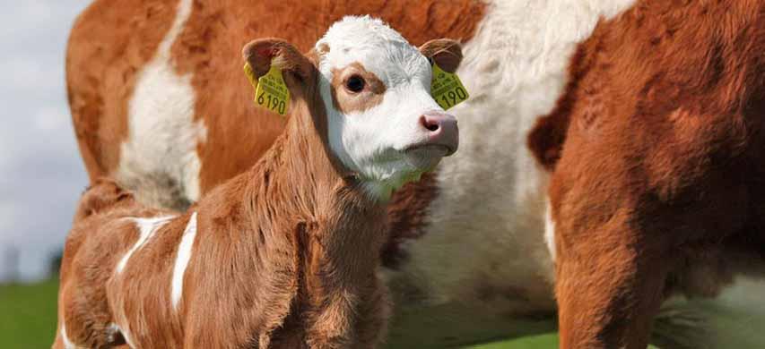 Allevamento di vitelli